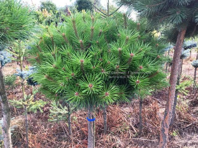 Сосна чорна Брепо (Pinus nigra Brepo) на штамбі ФОТО Розплідник рослин Природа (Priroda) (83)