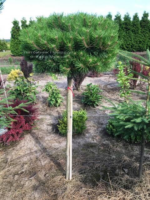 Сосна чорна Брепо (Pinus nigra Brepo) на штамбі ФОТО Розплідник рослин Природа (Priroda) (85)