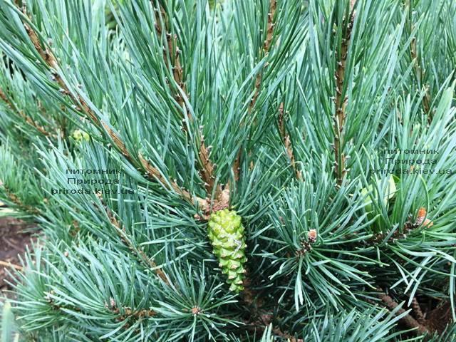 Сосна обыкновенная Ватерери (Pinus sylvestris Watereri) ФОТО Питомник растений Природа (Priroda) (107)