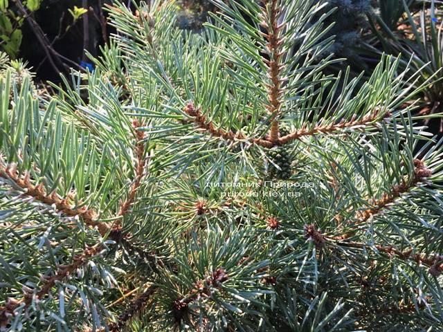 Сосна обыкновенная Нана Аргуто (Pinus sylvestris Nana Arguto) ФОТО Питомник растений Природа Priroda (72)