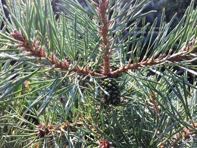 Сосна обыкновенная Нана Аргуто (Pinus sylvestris Nana Arguto) ФОТО Питомник растений Природа Priroda (75)