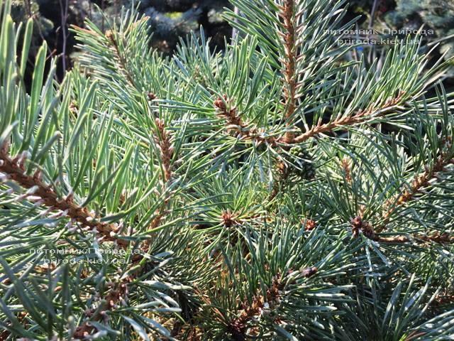 Сосна звичайна Нана аргута (Pinus sylvestris Nana Arguto) ФОТО Розплідник рослин Природа Priroda (73)