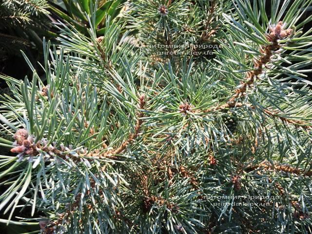 Сосна обыкновенная Нана Аргуто (Pinus sylvestris Nana Arguto) ФОТО Питомник растений Природа Priroda (74)