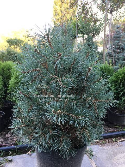 Сосна звичайна Нана аргута (Pinus sylvestris Nana Arguto) ФОТО Розплідник рослин Природа Priroda (76)