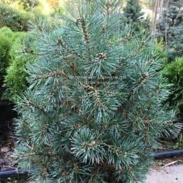Сосна обыкновенная Нана Аргуто (Pinus sylvestris Nana Arguto) ФОТО Питомник растений Природа Priroda (77)