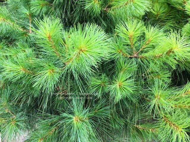 Сосна Веймутова (Pinus strobus) ФОТО Розплідник рослин Природа Priroda (64)