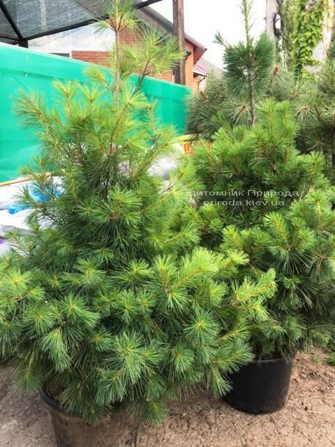 Сосна веймутова (Pinus strobus) ФОТО Питомник растений Природа Priroda (65)