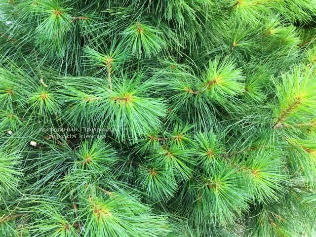 Сосна Веймутова (Pinus strobus) ФОТО Розплідник рослин Природа Priroda (63)