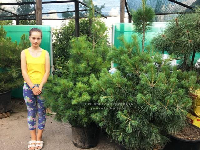 Сосна веймутова (Pinus strobus) ФОТО Питомник растений Природа Priroda (62)
