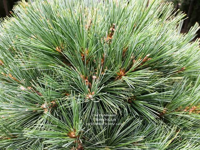 Сосна Веймутова Макопін (Pinus strobus Macopin) ФОТО Розплідник рослин Природа Priroda (95)