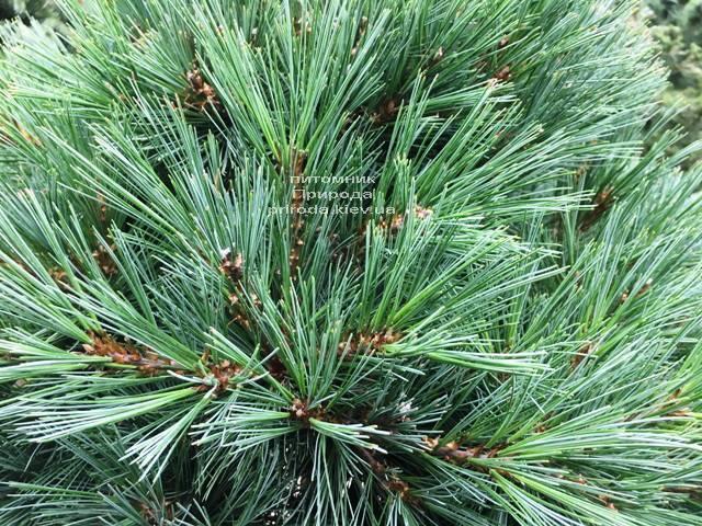 Сосна Веймутова Макопін (Pinus strobus Macopin) ФОТО Розплідник рослин Природа Priroda (96)