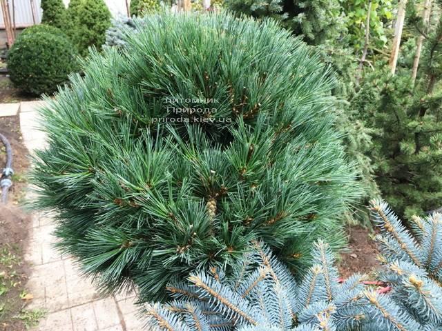 Сосна Веймутова Макопін (Pinus strobus Macopin) ФОТО Розплідник рослин Природа Priroda (97)