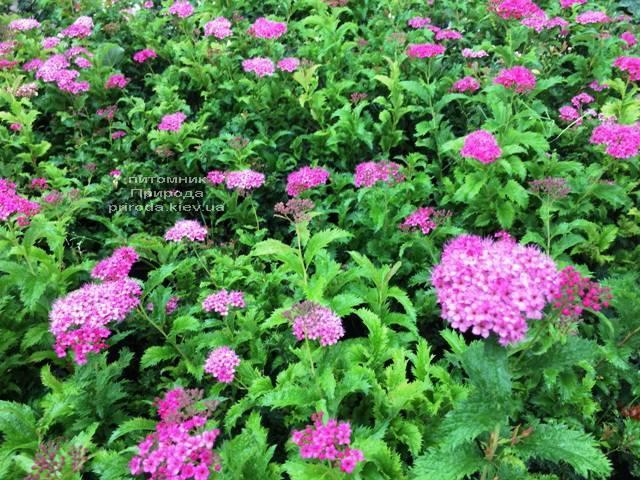 Спирея японская Криспа (Spiraea japonica Crispa) ФОТО Питомник растений Природа Priroda (38)