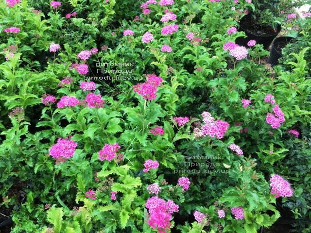 Спирея японская Криспа (Spiraea japonica Crispa) ФОТО Питомник растений Природа Priroda (40)