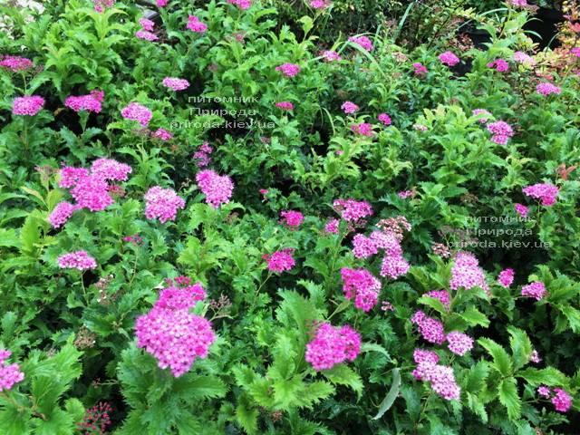 Спирея японская Криспа (Spiraea japonica Crispa) ФОТО Питомник растений Природа Priroda (42)