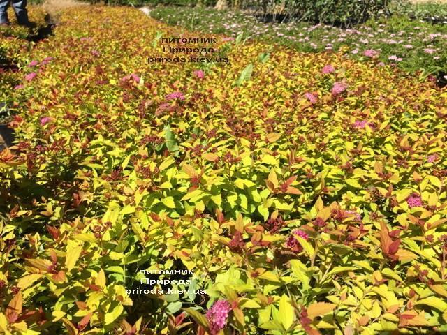 Спирея японская Меджик Карпет (Spiraea japonica Magic Carpet) ФОТО Питомник растений Природа Priroda (46)