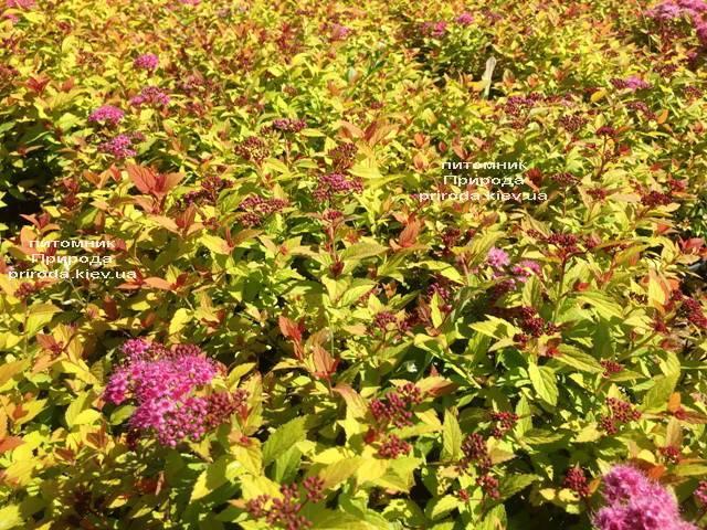 Спирея японская Меджик Карпет (Spiraea japonica Magic Carpet) ФОТО Питомник растений Природа Priroda (49)
