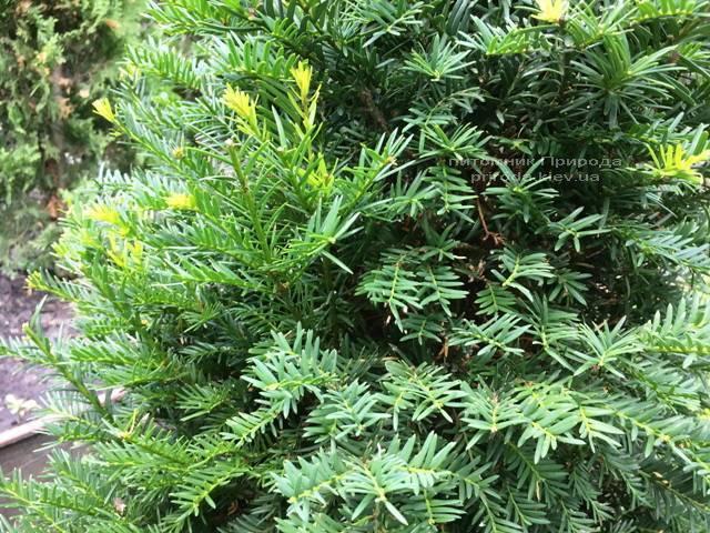 Тис ягодный (Taxus baccata) конус ФОТО Питомник растений Природа Priroda (2)
