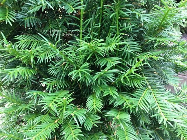 Тис ягодный (Taxus baccata) конус ФОТО Питомник растений Природа Priroda (3)