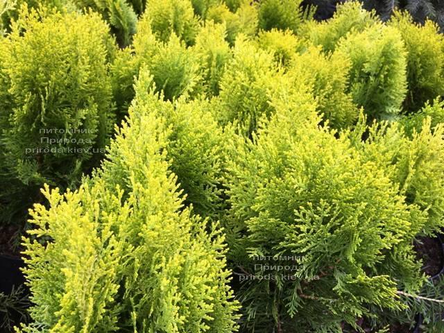 Туя східна Ауреа Нана (Thuja orientalis Aurea Nana) ФОТО Розплідник рослин Природа Priroda (64)