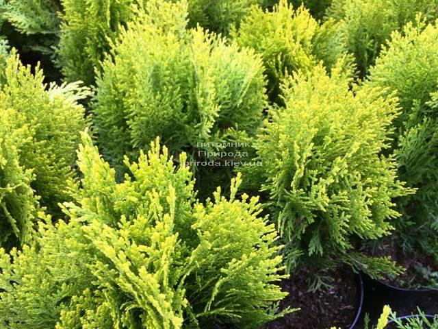 Туя східна Ауреа Нана (Thuja orientalis Aurea Nana) ФОТО Розплідник рослин Природа Priroda (65)