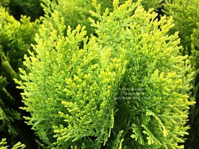 Туя східна Ауреа Нана (Thuja orientalis Aurea Nana) ФОТО Розплідник рослин Природа Priroda (66)