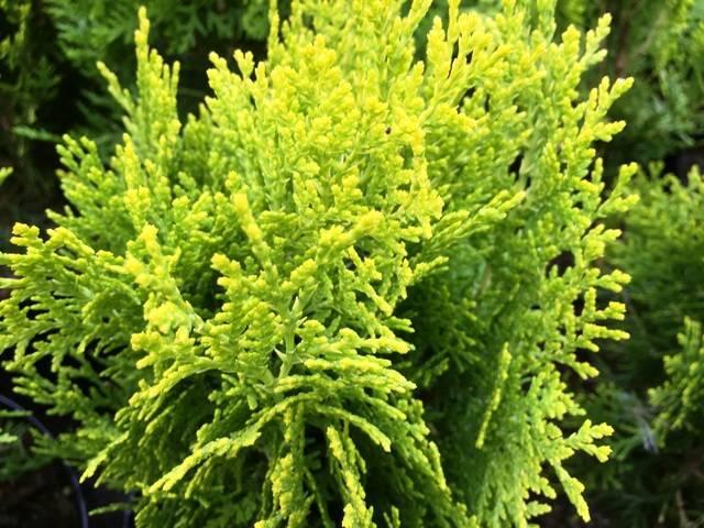 Туя східна Ауреа Нана (Thuja orientalis Aurea Nana) ФОТО Розплідник рослин Природа Priroda (68)