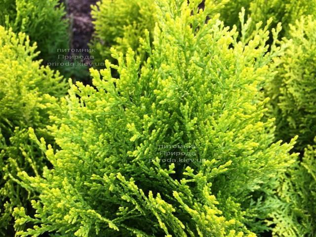 Туя східна Ауреа Нана (Thuja orientalis Aurea Nana) ФОТО Розплідник рослин Природа Priroda (69)