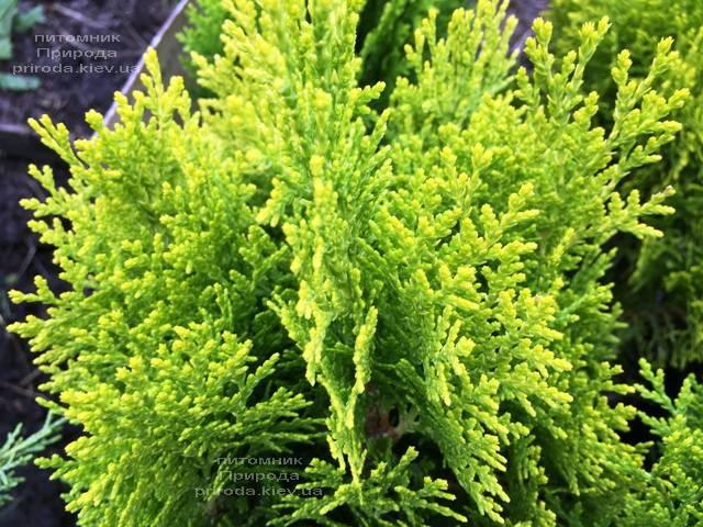 Туя східна Ауреа Нана (Thuja orientalis Aurea Nana) ФОТО Розплідник рослин Природа Priroda (70)