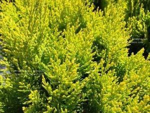 Туя восточная Ауреа Нана (Thuja orientalis Aurea Nana) ФОТО Питомник растений Природа Priroda (56)
