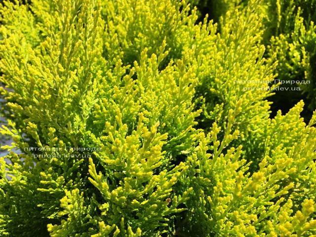 Туя східна Ауреа Нана (Thuja orientalis Aurea Nana) ФОТО Розплідник рослин Природа Priroda (56)