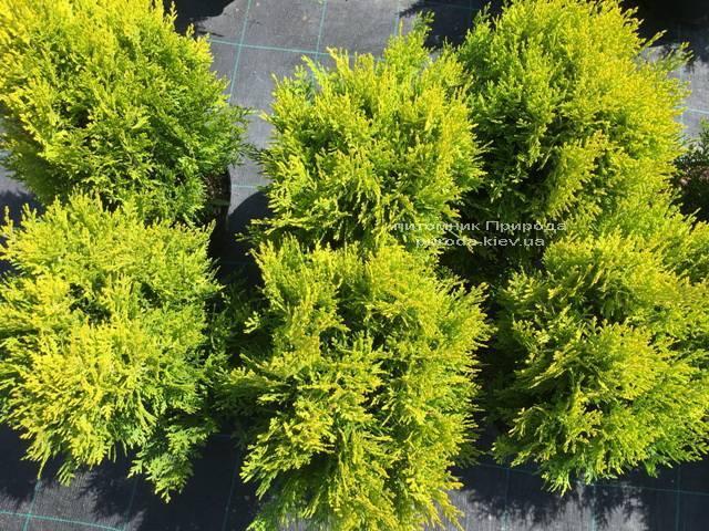 Туя східна Ауреа Нана (Thuja orientalis Aurea Nana) ФОТО Розплідник рослин Природа Priroda (57)