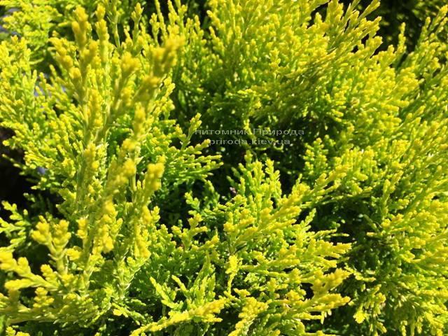 Туя східна Ауреа Нана (Thuja orientalis Aurea Nana) ФОТО Розплідник рослин Природа Priroda (58)