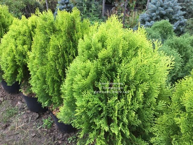 Туя східна Ауреа Нана (Thuja orientalis Aurea Nana) ФОТО Розплідник рослин Природа Priroda (59)