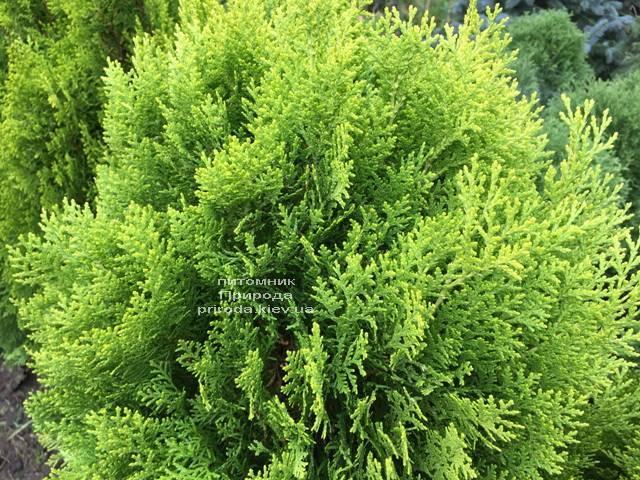 Туя східна Ауреа Нана (Thuja orientalis Aurea Nana) ФОТО Розплідник рослин Природа Priroda (60)