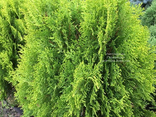 Туя східна Ауреа Нана (Thuja orientalis Aurea Nana) ФОТО Розплідник рослин Природа Priroda (61)