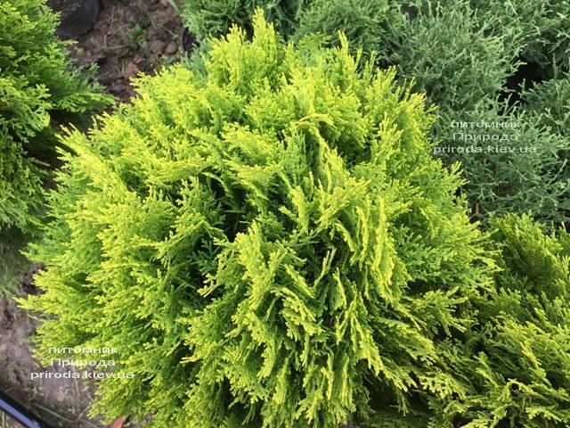 Туя східна Ауреа Нана (Thuja orientalis Aurea Nana) ФОТО Розплідник рослин Природа Priroda (63)