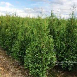 Туя западная Брабант (Thuja occidentalis Brabant) ФОТО Питомник растений Природа Priroda (34)