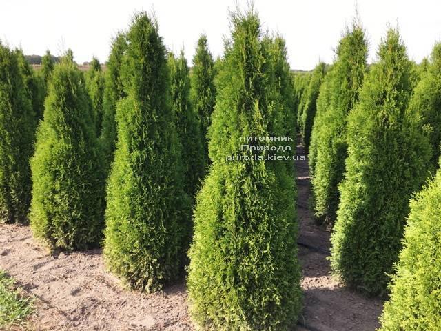 Туя західна Смарагд (Thuja occidentalis Smaragd) ФОТО Розплідник рослин Природа Priroda