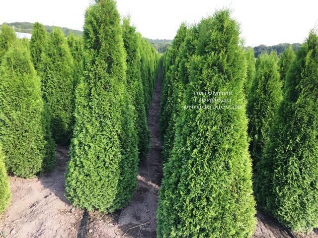 Туя западная Смарагд (Thuja occidentalis Smaragd) ФОТО Питомник растений Природа Priroda (83)