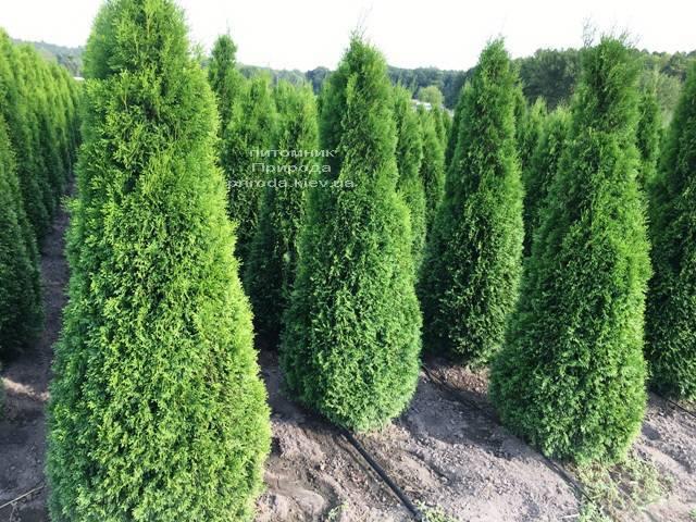 Туя западная Смарагд (Thuja occidentalis Smaragd) ФОТО Питомник растений Природа Priroda (84)