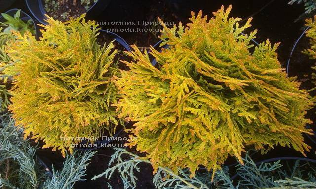 Туя западная Мирьям (Thuja occidentalis Mirjam) ФОТО Питомник растений Природа Priroda (45)