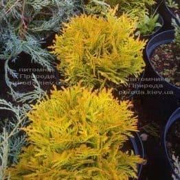 Туя західна Мирьям (Thuja occidentalis Mirjam) ФОТО Розплідник рослин Природа Priroda (46)