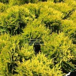 Туя західна Мирьям (Thuja occidentalis Mirjam ФОТО Розплідник рослин Природа Priroda (47)
