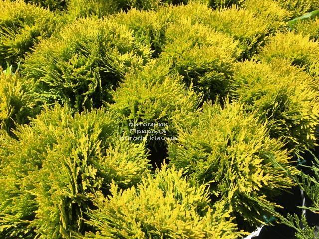 Туя западная Мирьям (Thuja occidentalis Mirjam ФОТО Питомник растений Природа Priroda (47)