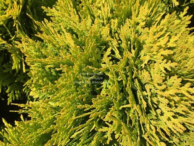 Туя западная Мирьям (Thuja occidentalis Mirjam) ФОТО Питомник растений Природа Priroda (49)