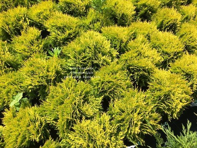 Туя западная Мирьям (Thuja occidentalis Mirjam) ФОТО Питомник растений Природа Priroda (50)