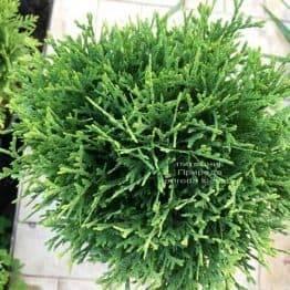 Туя західна Тіні Тім (Thuja occidentalis Tini Tim) ФОТО Розплідник рослин Природа Priroda (51)