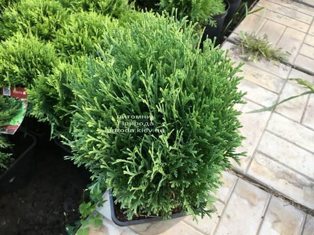 Туя західна Тіні Тім (Thuja occidentalis Tini Tim) ФОТО Розплідник рослин Природа Priroda (54)