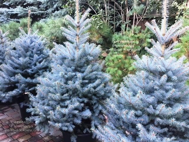 Ель голубая Блю Диамонд (Picea pungens Blue Diamond) ФОТО Питомник растений Природа Priroda (238)